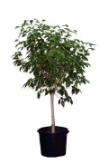 Where to rent FICUS TREE W LIGHTS-7 1 2 in Louisville KY