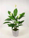 Where to rent POTTED LILIES in Louisville KY